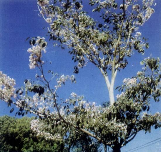 ipe de jardim botânico: Lendas de Santos: Um jardim em homenagem a Chico Mendes (7