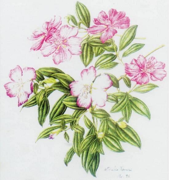 arvore manaca jardim:Manacá-da-serra ( Tibouchina pulchra Cogn. ), em ilustração de